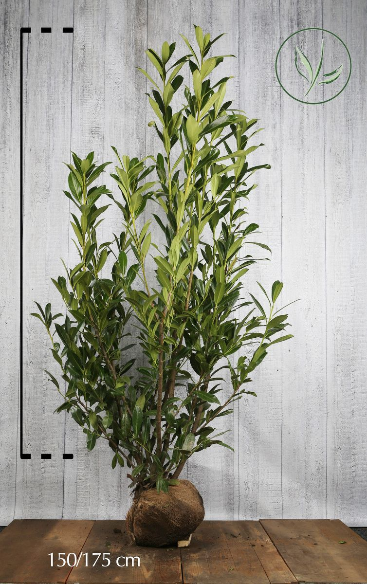 Kirschlorbeer 'Caucasica'  Wurzelballen 150-175 cm