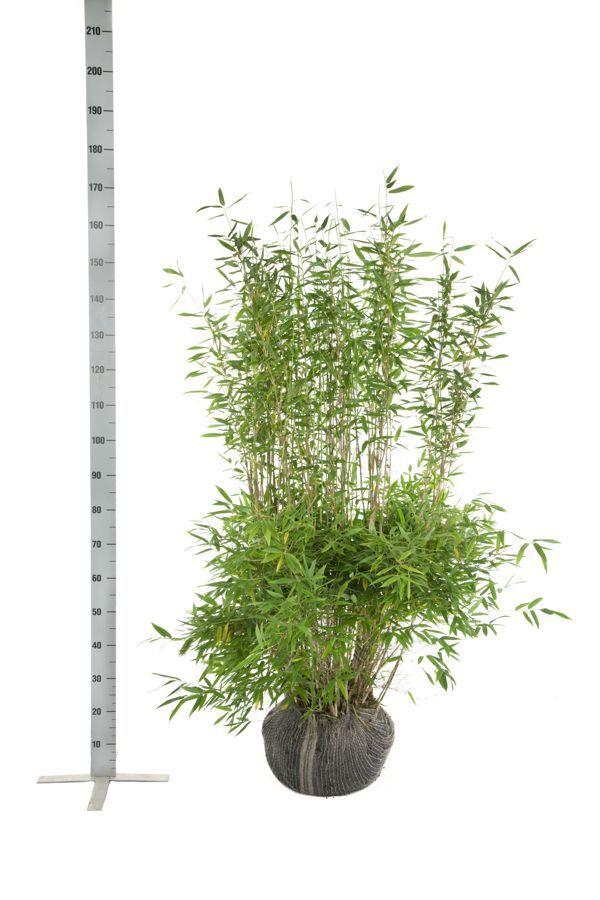 Schirmbambus 'Jumbo' Wurzelballen 125-150 cm