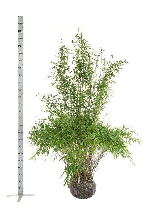 Schirmbambus 'Jumbo' Wurzelballen 175-200 cm