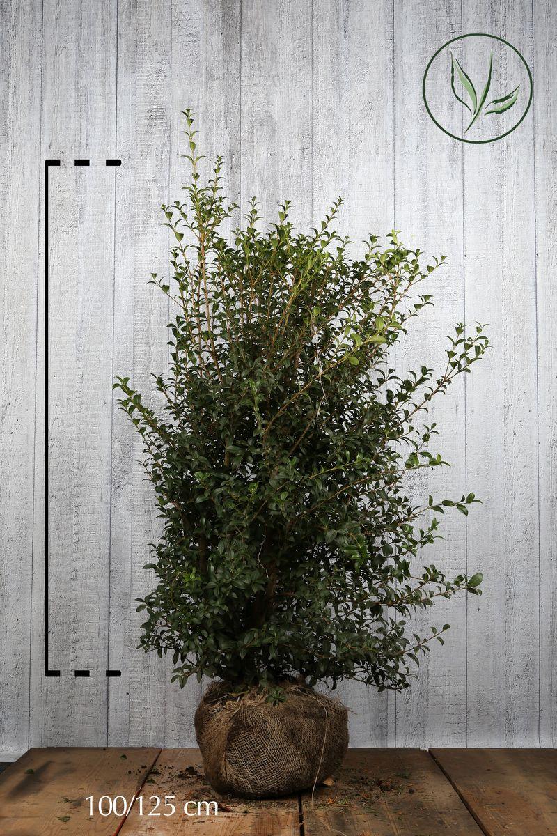Burkwoods Duftblüte Wurzelballen 100-125 cm