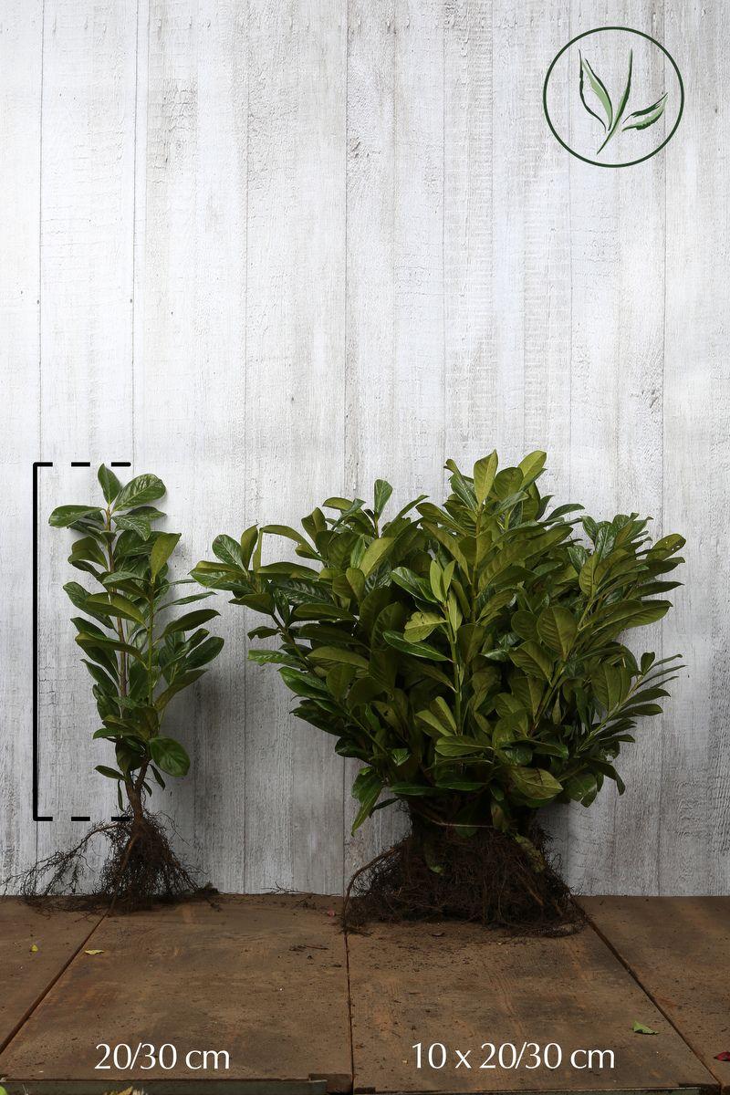 Kirschlorbeer 'Novita' Wurzelware 20-30 cm