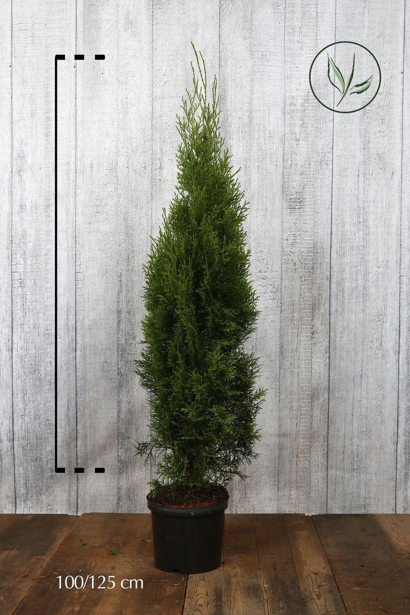 Lebensbaum 'Smaragd'  Topf 100-125 cm Extra Qualtität