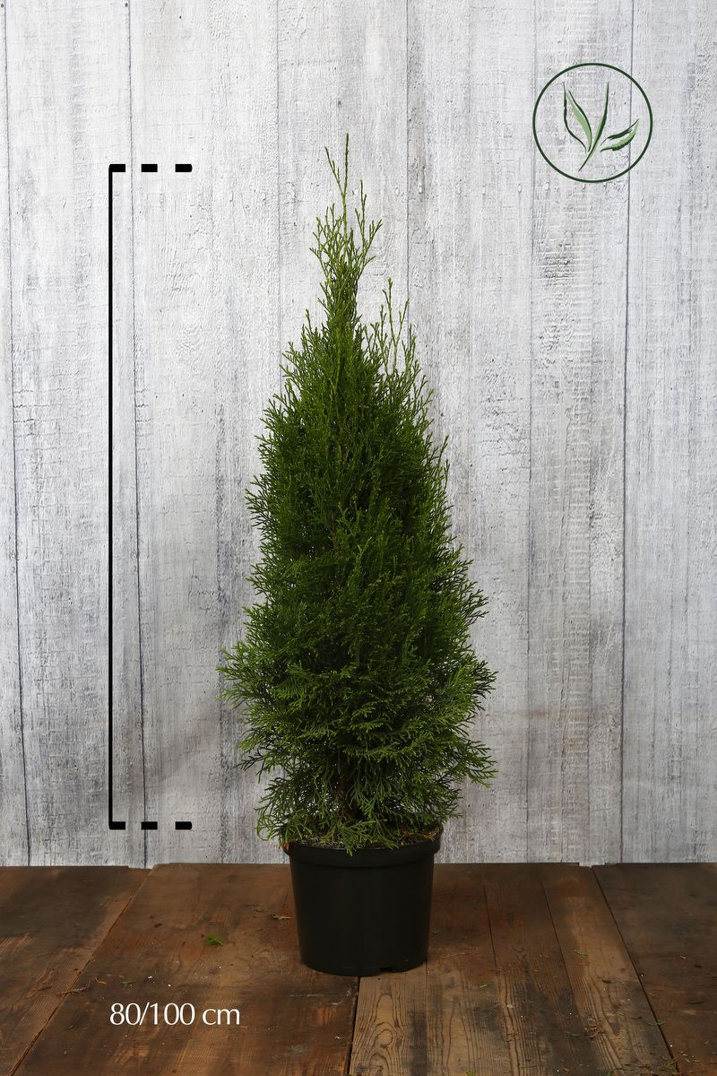 Lebensbaum 'Smaragd'  Topf 80-100 cm Extra Qualtität