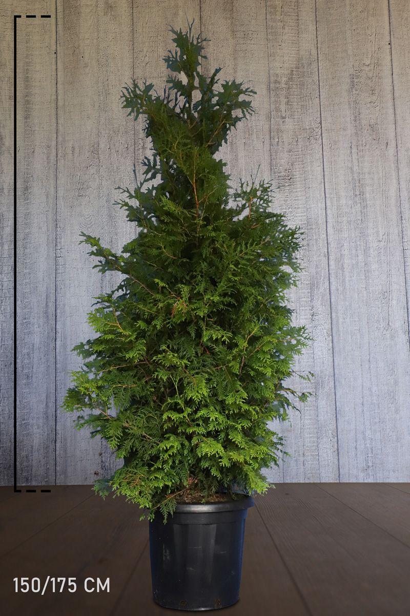 Lebensbaum 'Brabant' Topf 150-175 cm Extra Qualtität