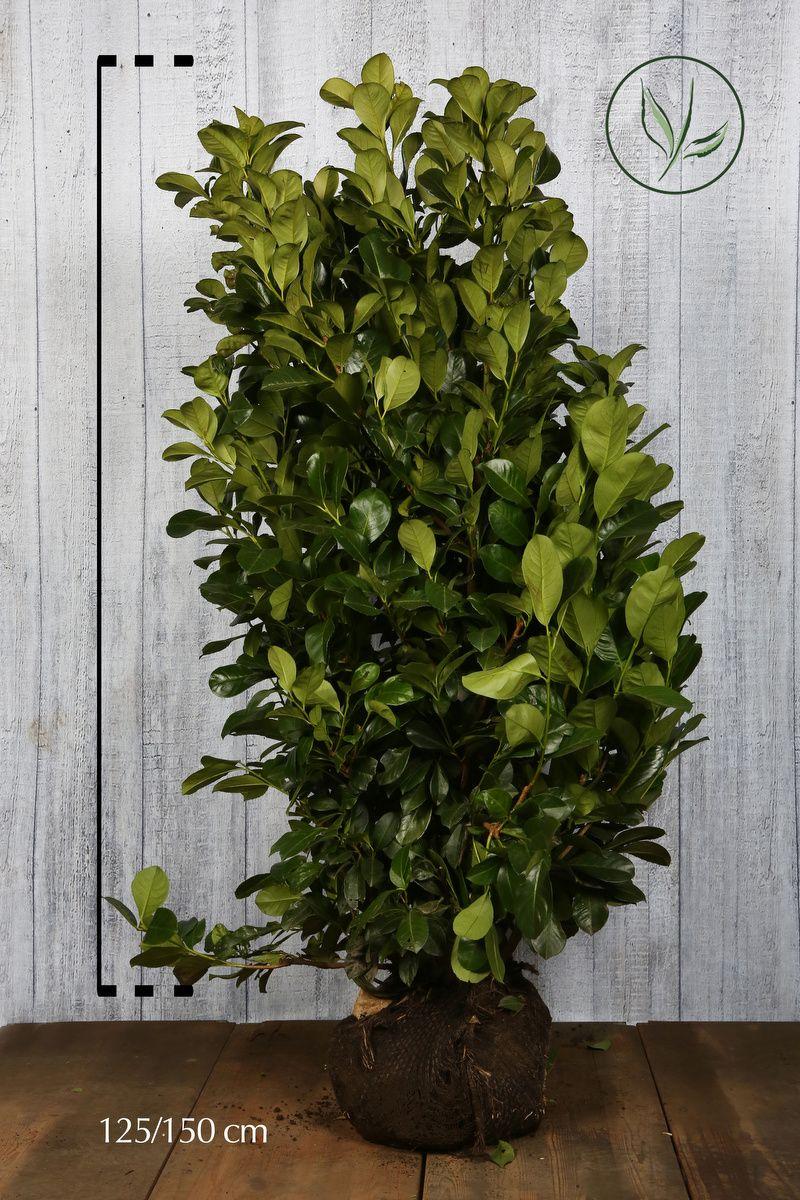 Kirschlorbeer 'Etna'  Wurzelballen 120-140 cm Extra Qualtität