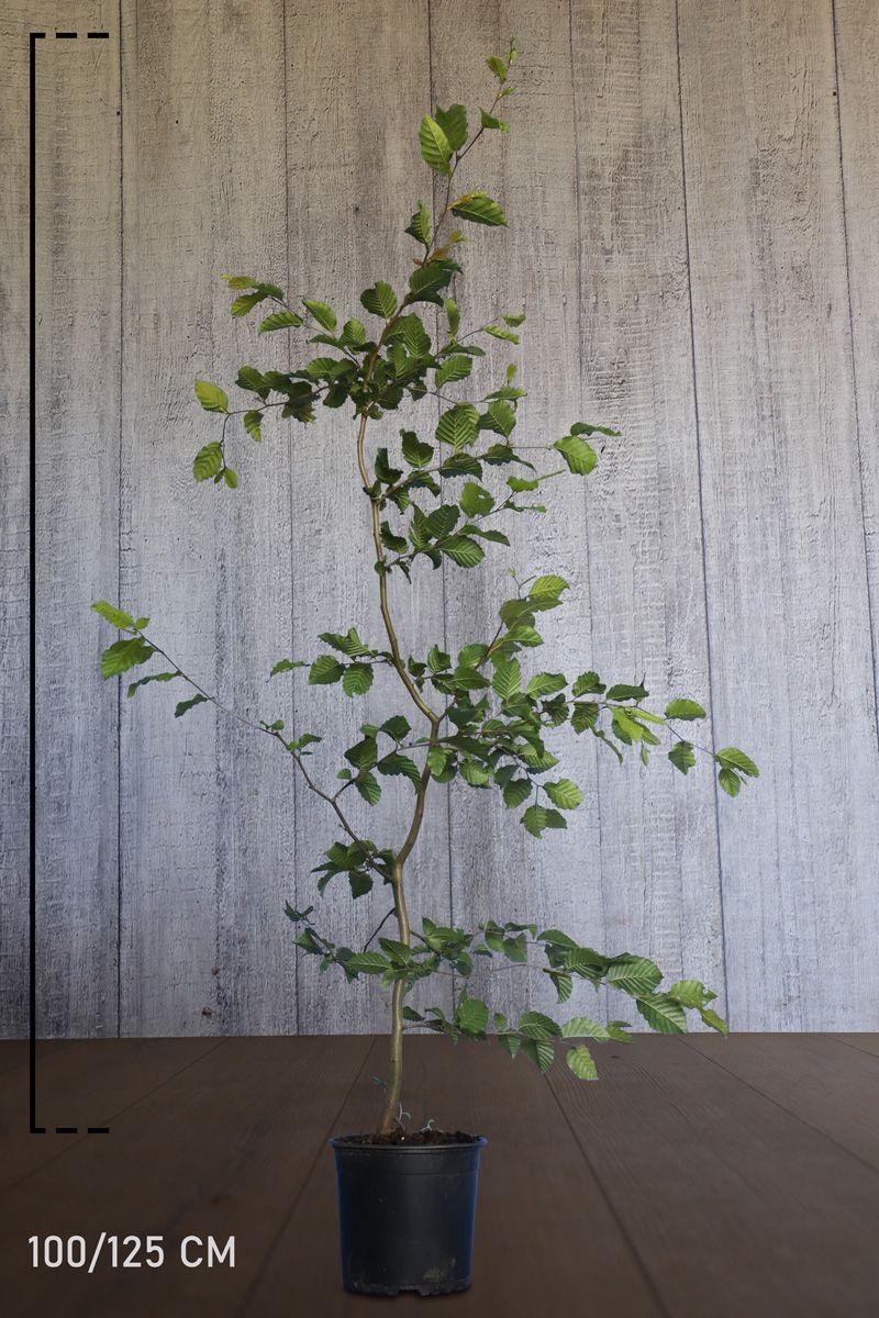Hainbuche, Weißbuche  Topf 100-125 cm