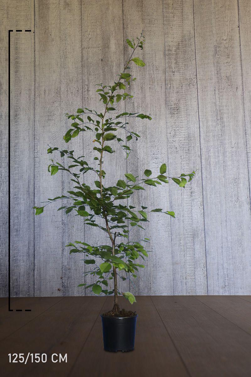 Hainbuche, Weißbuche  Topf 125-150 cm