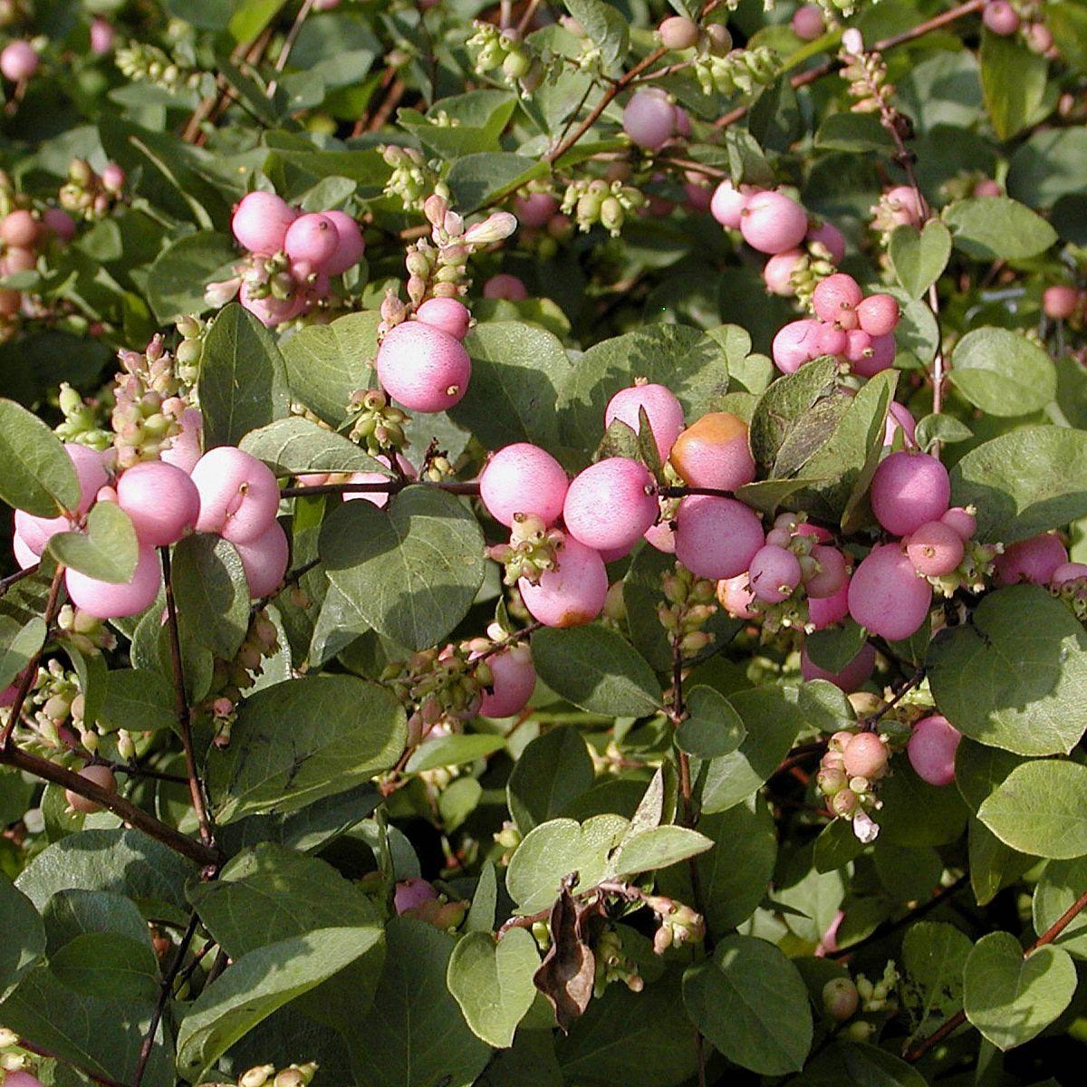Amethystbeere 'Magic Berry'
