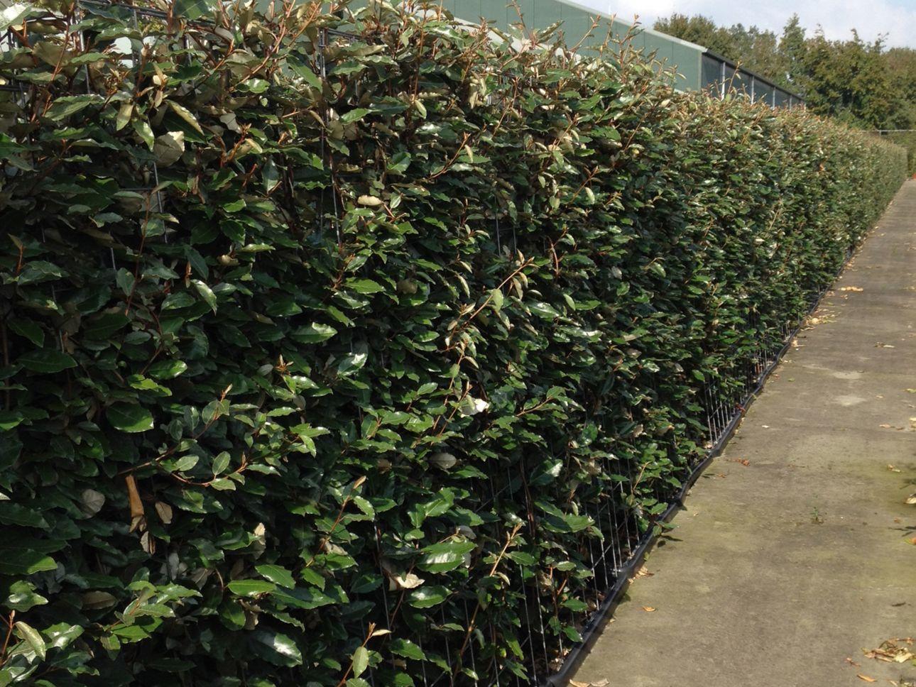 Wintergrüne Ölweide Fertig-Hecken 180 cm Fertig-Hecken