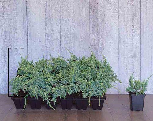 Juniperus squamata 'Holger' in P9-Anzuchtschale