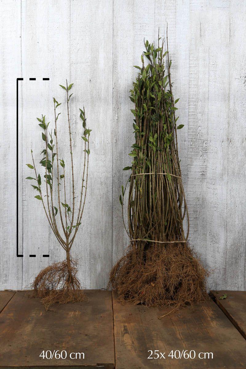 Wintergrüner Liguster 'Atrovirens' Wurzelware 40-60 cm