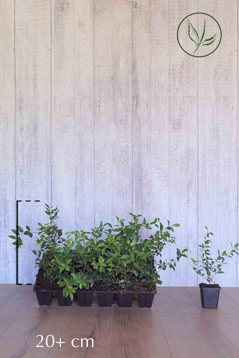 Burkwoods Duftblüte in P9-Anzuchtschale