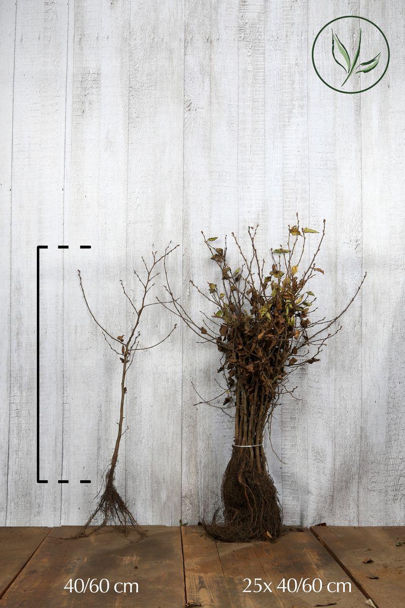 Hainbuche, Weißbuche  Wurzelware 40-60 cm Extra Qualtität