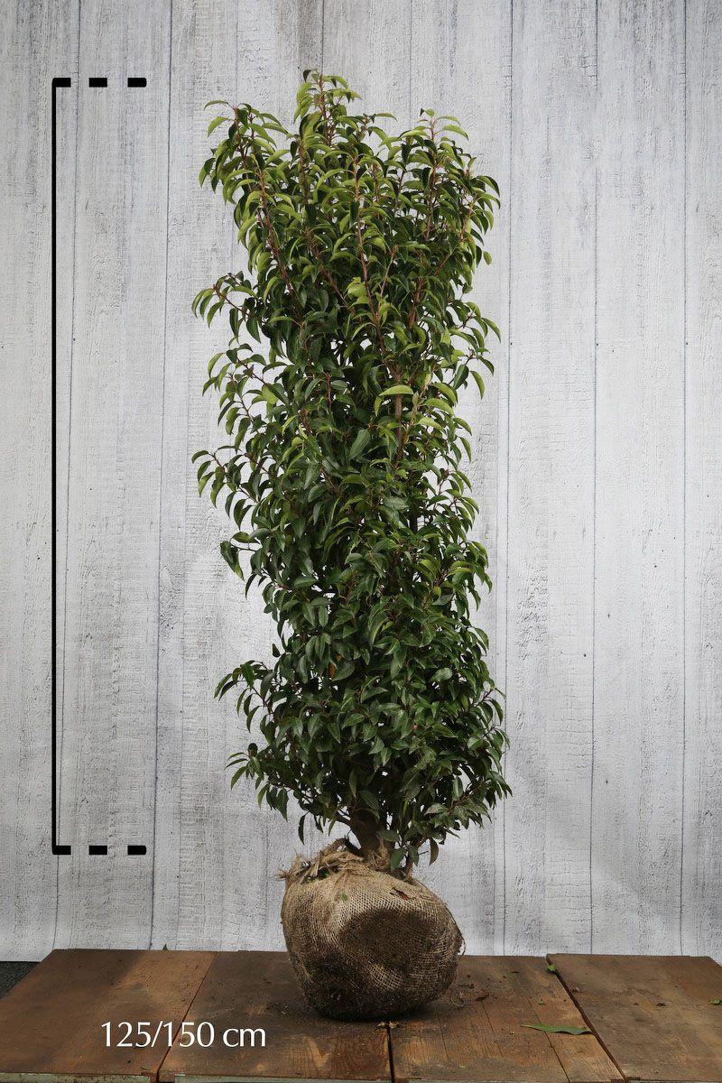 Portugiesischer Kirschlorbeer  Wurzelballen 125-150 cm Extra Qualtität