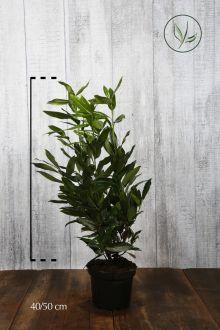 Kirschlorbeer 'Herbergii' Topf 40-50 cm