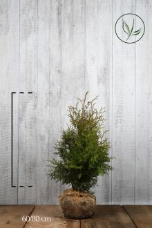Lebensbaum 'Brabant' Wurzelballen 60-80 cm Extra Qualtität