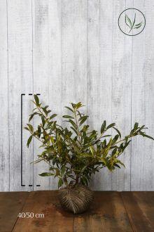 Kirschlorbeer 'Zabeliana'  Wurzelballen 40-50 cm