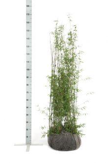 Jadebambus Wurzelballen 125-150 cm
