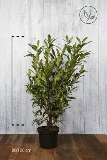 Kirschlorbeer 'Herbergii' Topf 80-100 cm