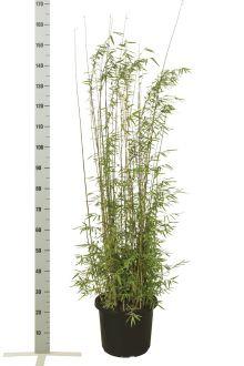 Jadebambus Topf 100-125 cm