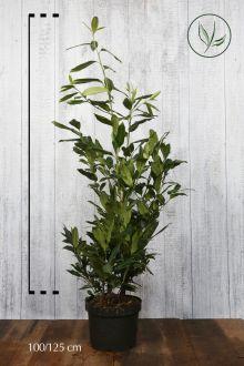 Kirschlorbeer 'Herbergii' Topf 100-125 cm