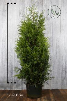 Lebensbaum 'Brabant' Topf 175-200 cm Extra Qualtität