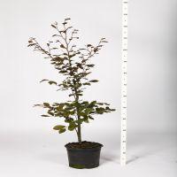 Blutbuche   Topf 80-100 cm Extra Qualtität