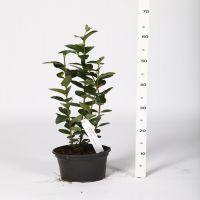 Ovalblättriger Liguster  Topf 20-40 cm