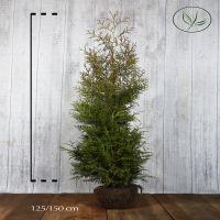 Lebensbaum 'Brabant' Wurzelballen 125-150 cm Extra Qualtität