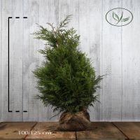 Lebensbaum 'Martin' Wurzelballen 100-125 cm Extra Qualtität