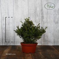 Buchsbaum - Sträucher Topf 30-40 cm