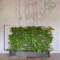 Hainbuche, Weißbuche  Fertig-Hecken 100+ cm Fertig-Hecken