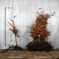 Rotbuche  Wurzelware 80-100 cm Extra Qualtität