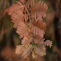 Urweltmammutbaum  Fertig-Hecken 200 cm Fertig-Hecken