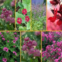 Violett-Rot-Rosafarbenes Beetpaket