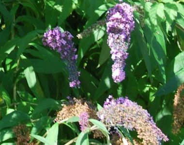 Schmetterlingsstrauch 'Lochinch'