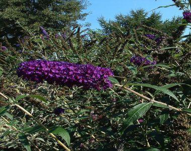Schmetterlingsstrauch 'Black Knight'