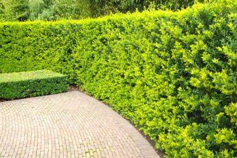 Japanische Stechpalme 'Green Hedge'