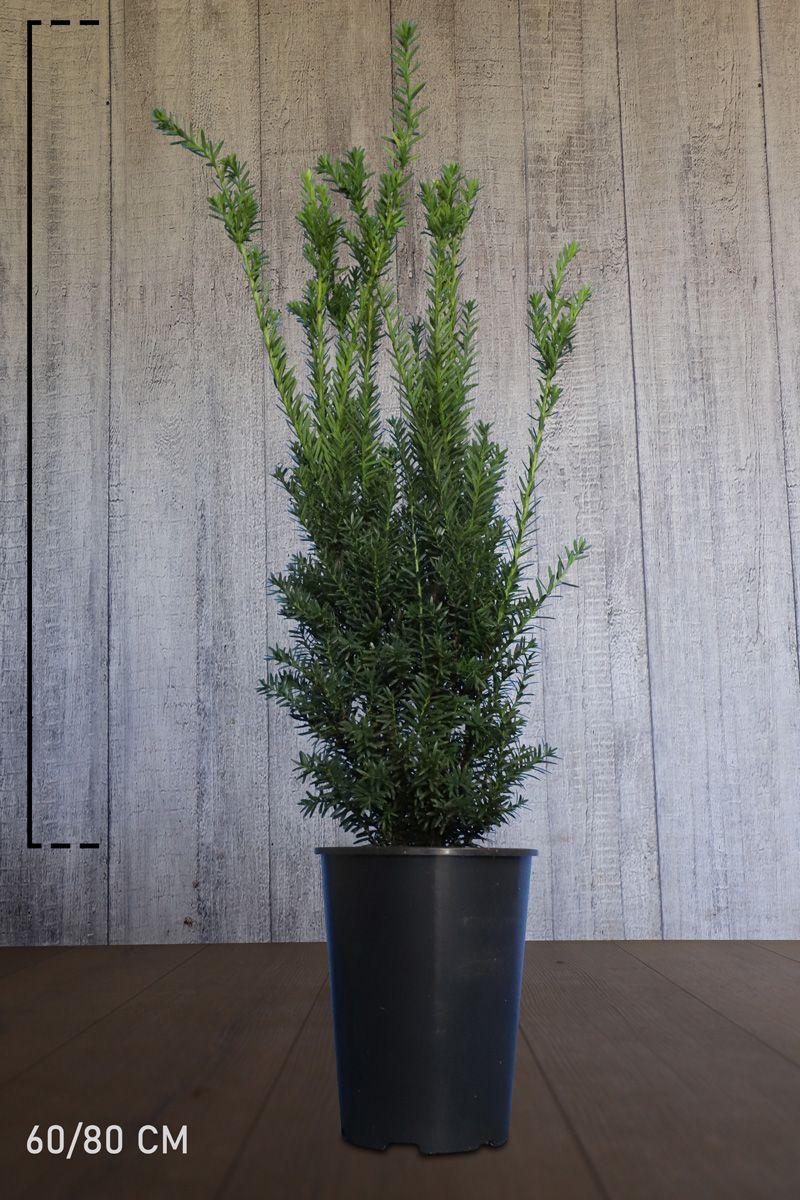 Nicht-fruchtende Becher-Eibe  Topf 60-80 cm