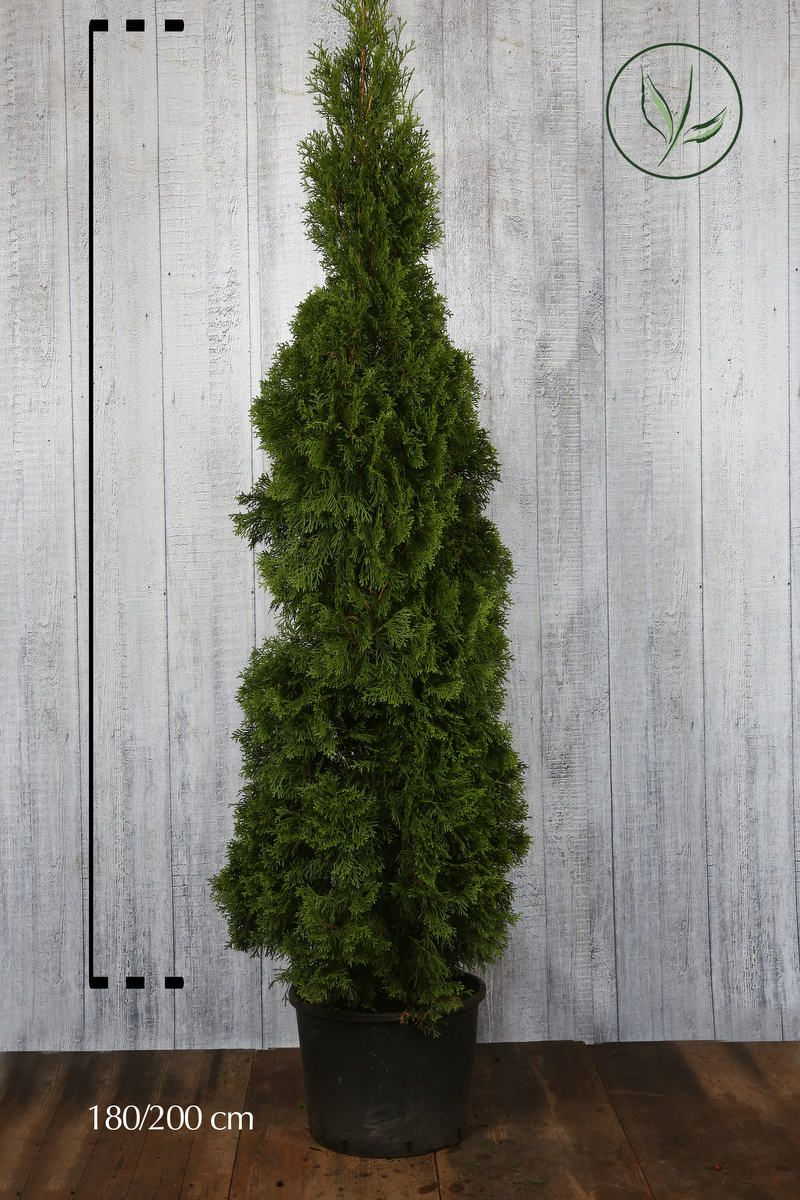 Lebensbaum 'Smaragd'  Topf 180-200 cm Extra Qualtität