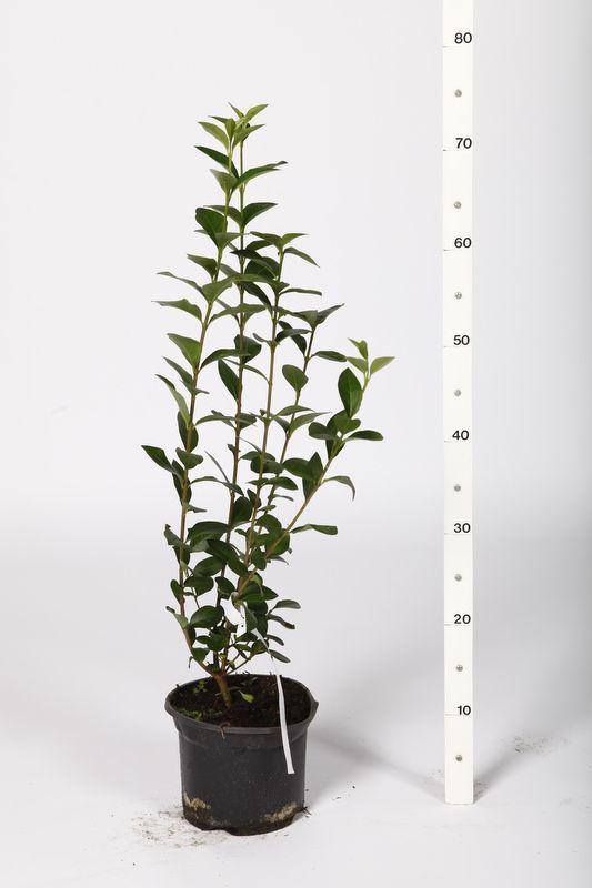 Ovalblättriger Liguster  Topf 40-60 cm