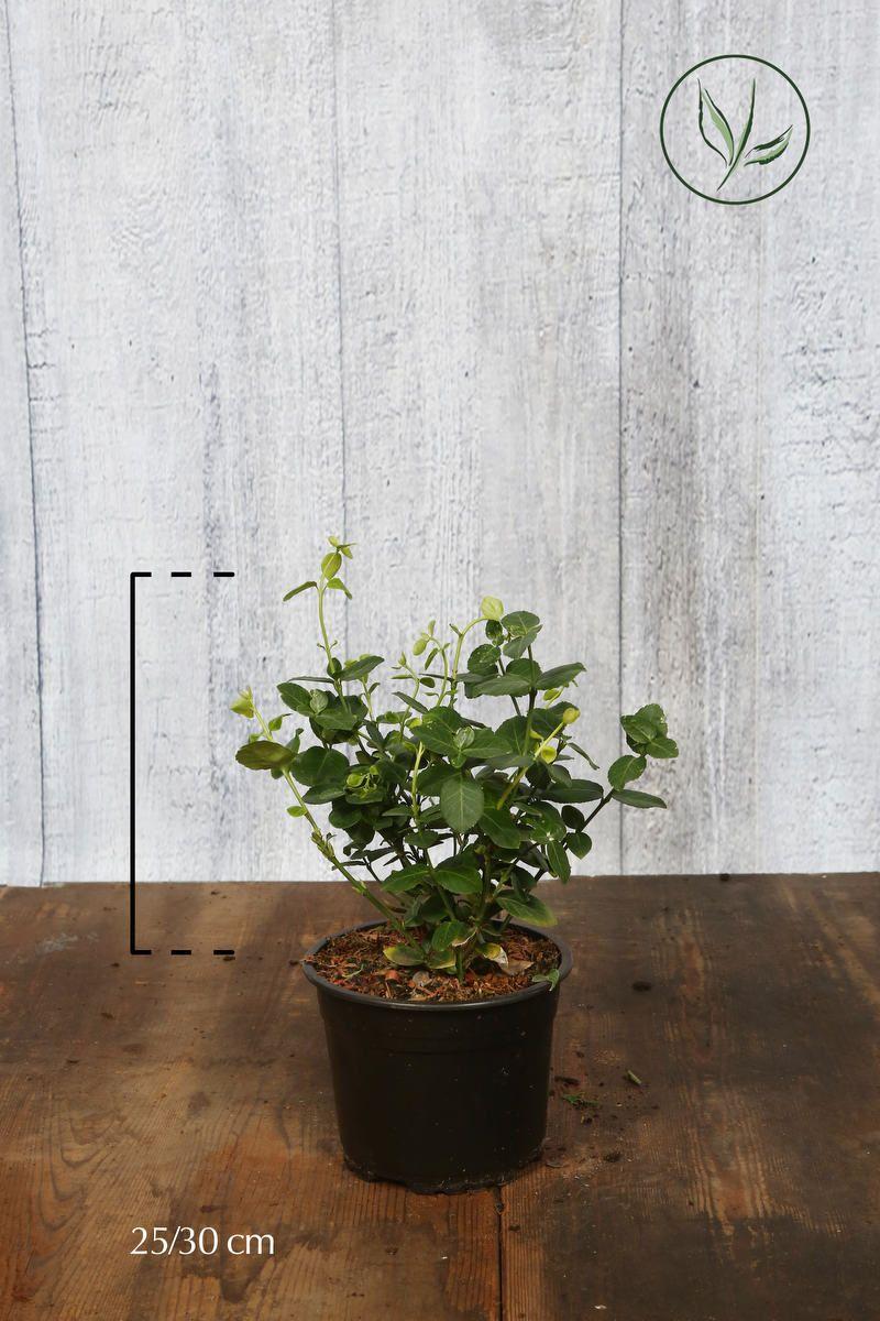 Kriechspindel 'Vegetus' Topf 25-30 cm