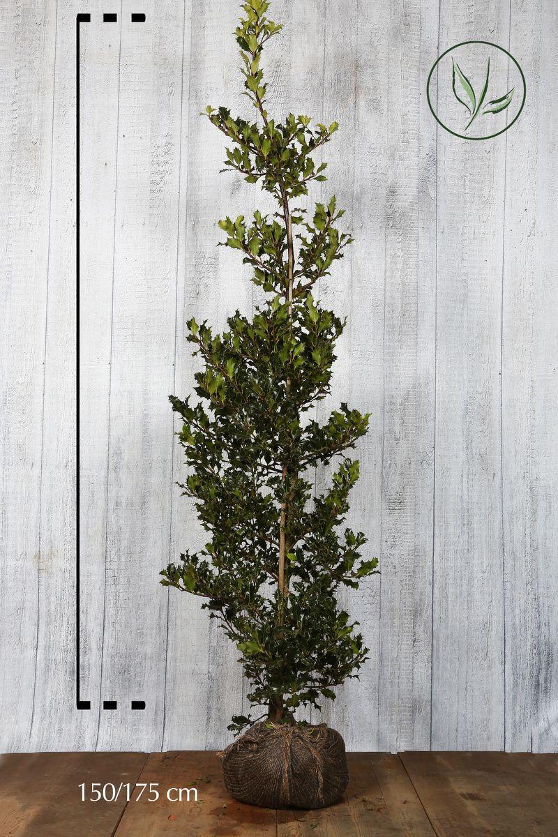 Stechpalme Wurzelballen 150-175 cm