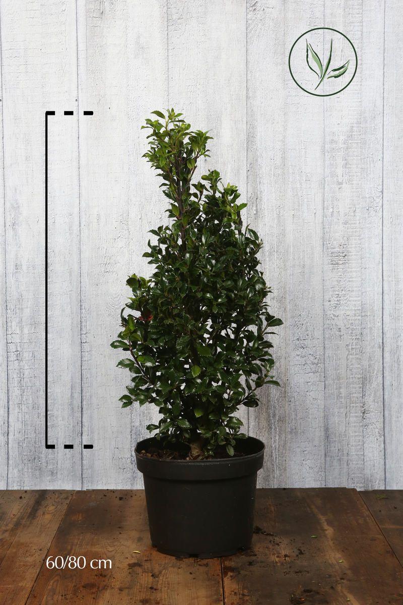Stechpalme 'Heckenfee' Topf 60-80 cm Extra Qualtität