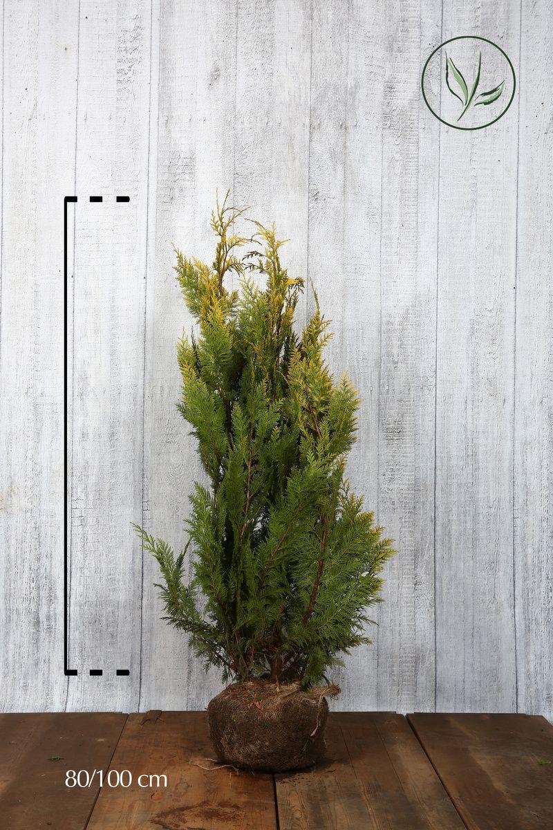 Gelbe Scheinzypresse Wurzelballen 80-100 cm Extra Qualtität