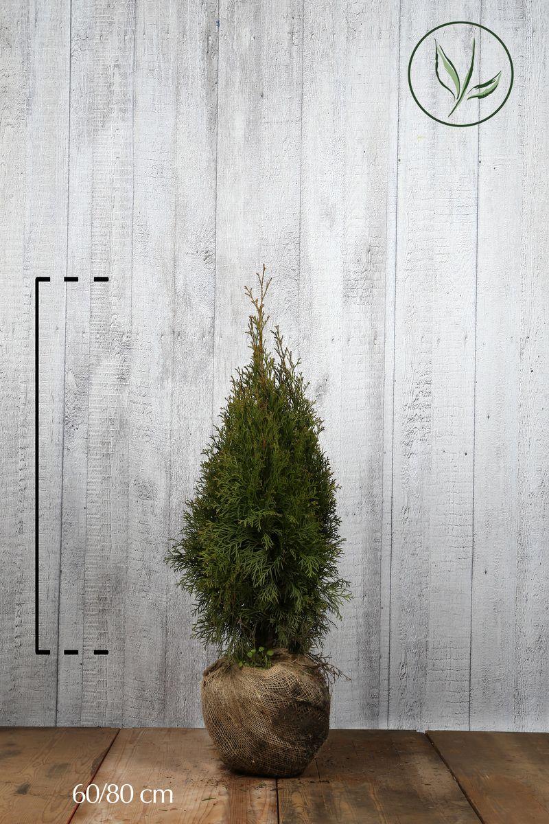 Lebensbaum 'Smaragd'  Wurzelballen 60-80 cm Extra Qualtität