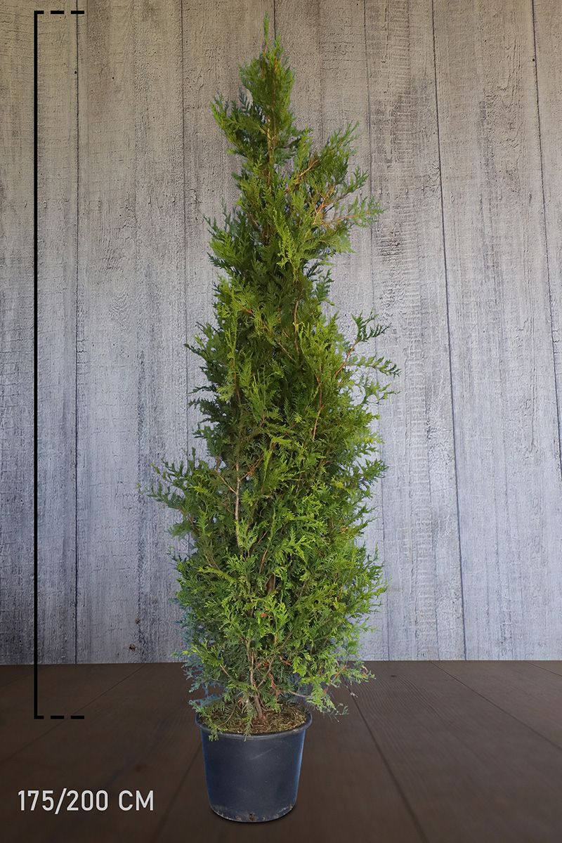 Lebensbaum 'Martin' Topf 175-200 cm Extra Qualtität