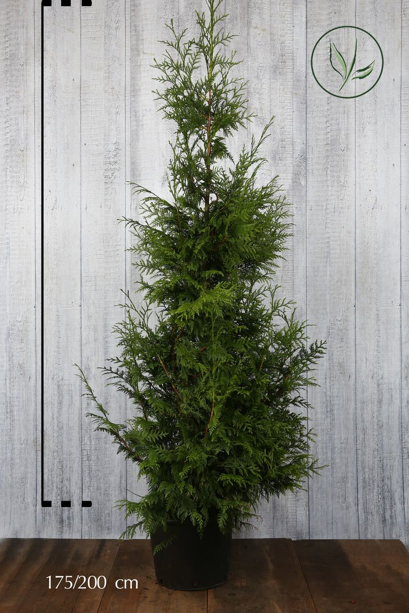 Lebensbaum 'Excelsa' Topf 175-200 cm Extra Qualtität