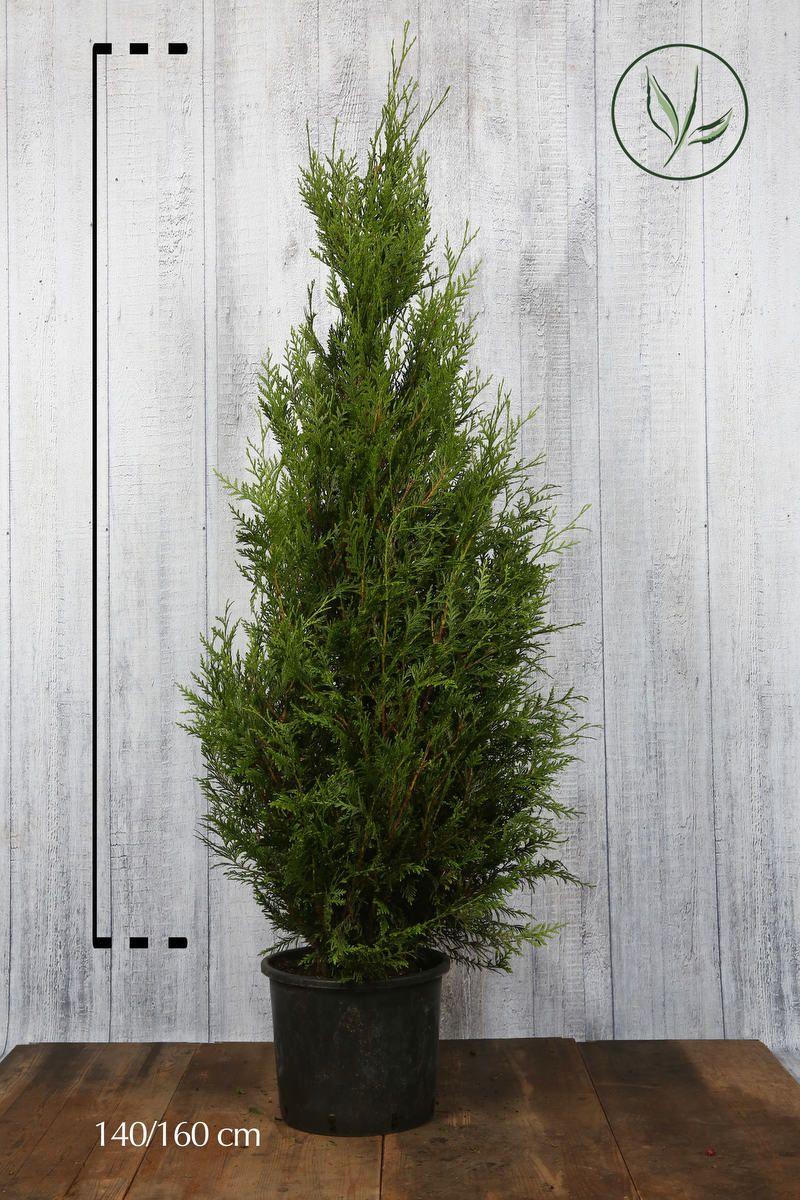 Lebensbaum 'Atrovirens' Topf 140-160 cm Extra Qualtität