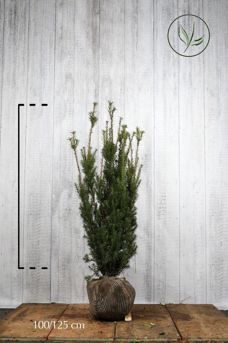 Fruchtende Becher-Eibe Wurzelballen 100-125 cm